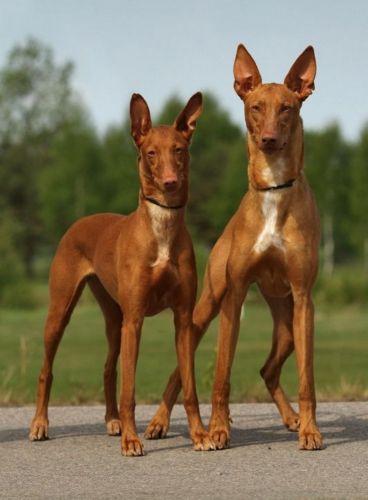 cirneco dell etna dogs