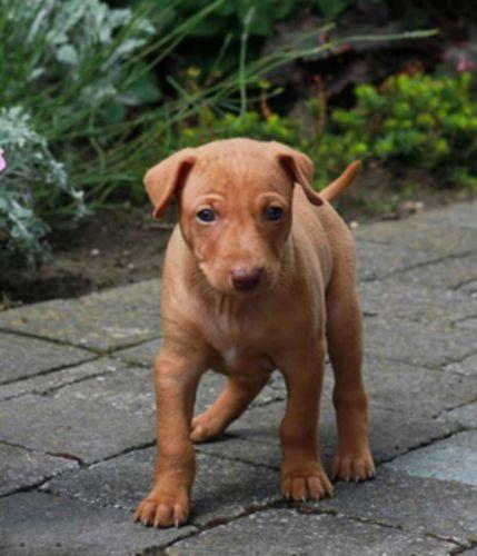 cirneco dell etna puppy