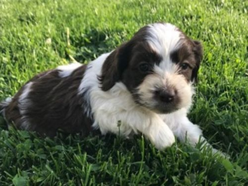 Cockapoo Puppies For Sale | Canton, OH #191678 | Petzlover