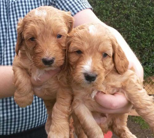 Cockapoo Puppies For Sale | Bozeman, MT #208536 | Petzlover