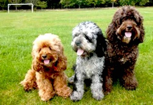 cockapoo dogs
