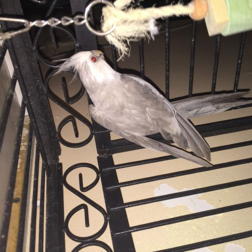 Cockatiel Birds for sale in Perth Amboy, NJ, USA. price 150USD