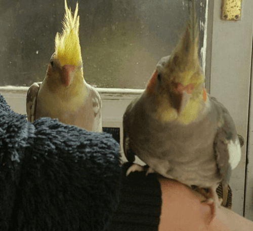 Cockatiel Birds for sale in Philadelphia, PA, USA. price 200USD