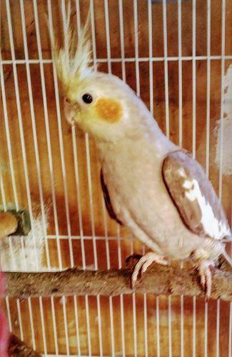 Cockatiel Birds for sale in Allegan, MI 49010, USA. price -USD