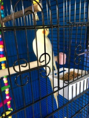 Cockatiel Birds for sale in Los Angeles, CA, USA. price 750USD