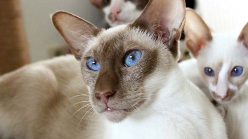 colorpoint shorthair cats