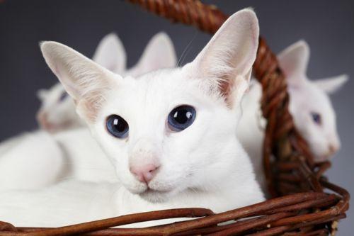 colorpoint shorthair kittens
