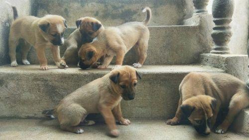 combai puppies