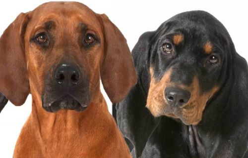 coonhound dogs