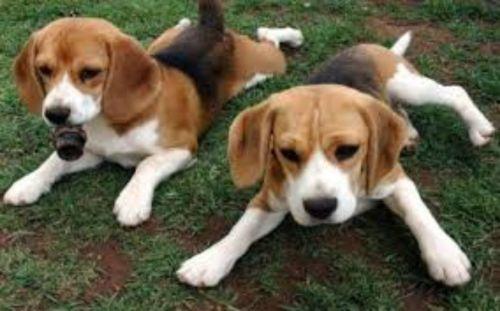 coonhound puppies