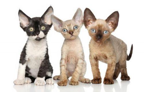 cornish rex kittens