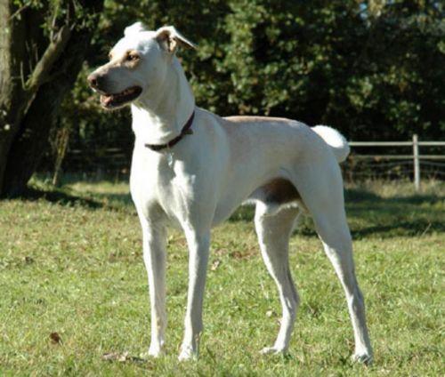 cretan hound