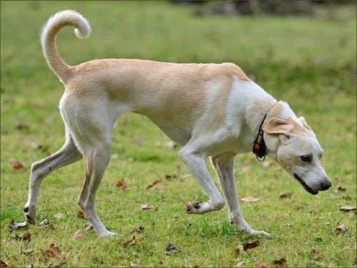 cretan hound dog