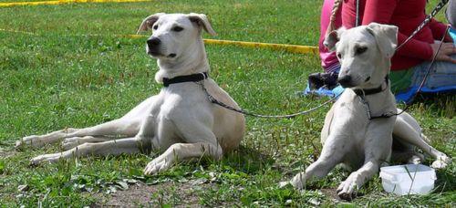 cretan hound dogs