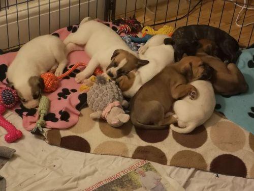 cretan hound puppies