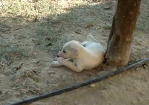 cretan hound puppy