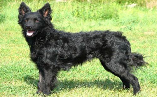 croatian sheepdog dog