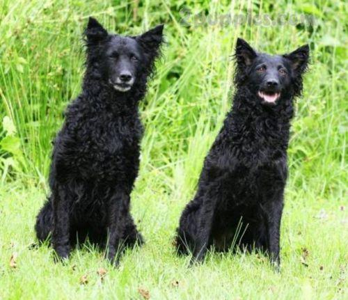 croatian sheepdog dogs