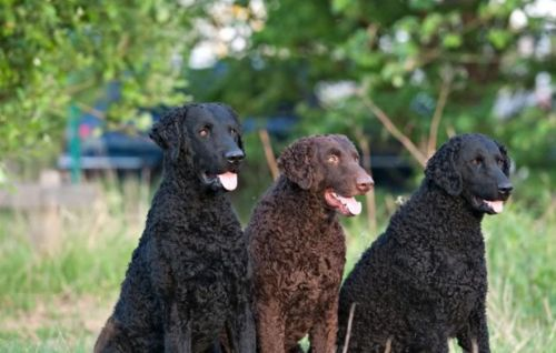 curly coated retriever dogs