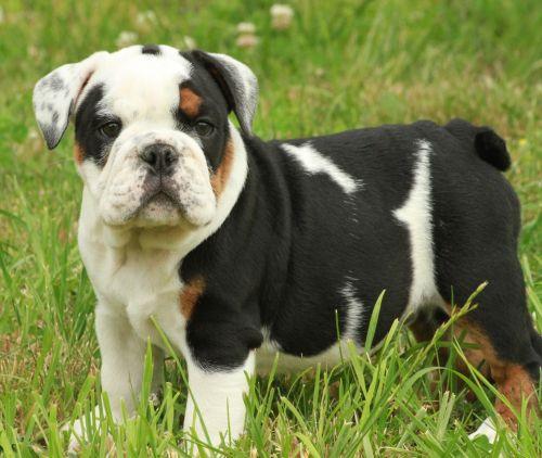Z Gallerie Bulldog French Bulldog vs Engl...