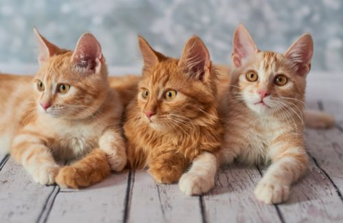 cymric cats