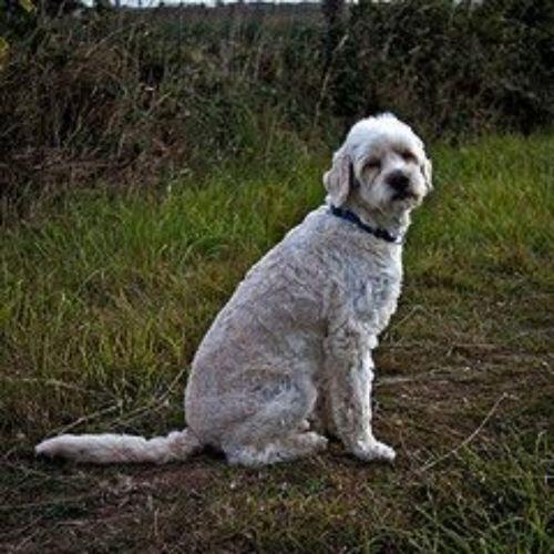 cyprus poodle dog