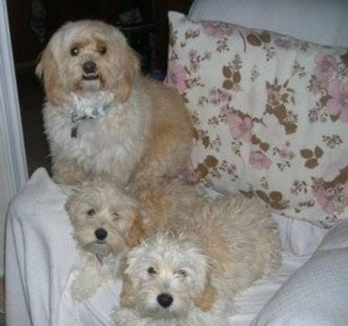 cyprus poodle dogs