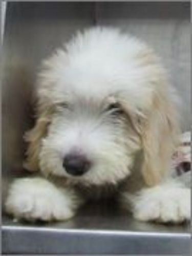 cyprus poodle puppy