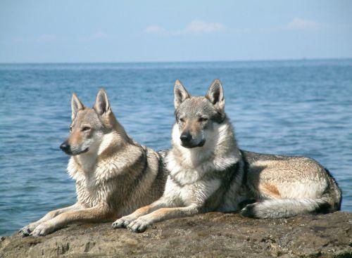 czechoslovakian wolfdog dogs
