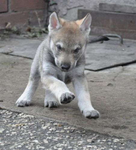 czechoslovakian wolfdog puppy