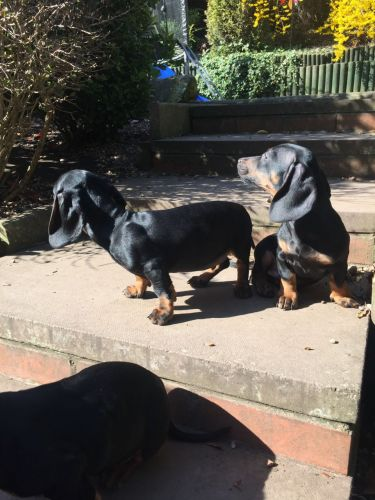 Dachshund Puppies for sale in Maryland Ave, Rockville, MD 20850, USA. price 500USD