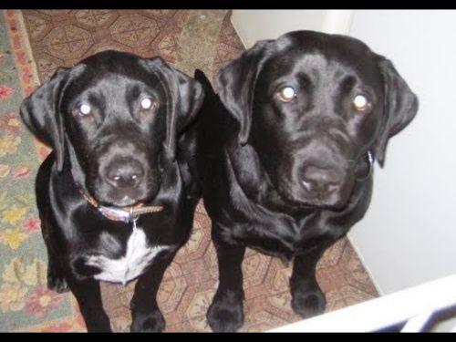 dalmador dogs