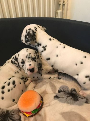 Dalmatian Puppies For Sale | Ohio USA | Petzlover