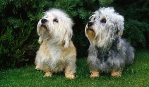 dandie dinmont terrier dogs