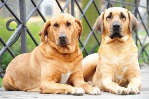 danish broholmer dogs