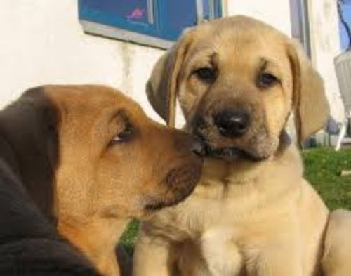 danish broholmer puppies