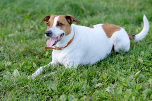 danish swedish farmdog dog
