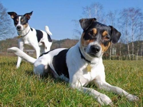 danish swedish farmdog dogs