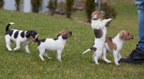 danish swedish farmdog puppies