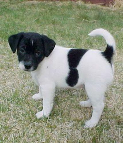 danish swedish farmdog puppy