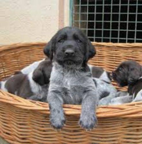 deutsch drahthaar puppies