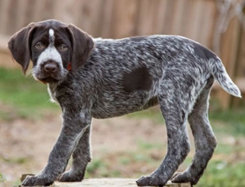 deutsch drahthaar puppy