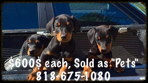 Doberman Pinscher Puppies for sale in North Hollywood, Los Angeles, CA, USA. price 600USD