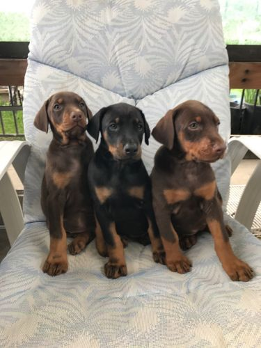 Doberman Pinscher Puppies for sale in Vallejo, CA 94589, USA. price 500USD