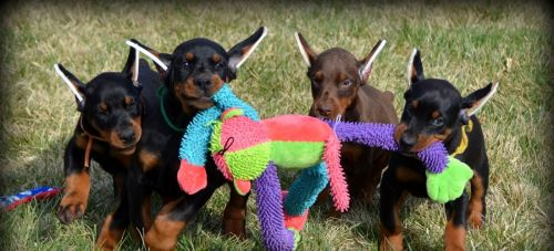 Doberman Pinscher Puppies for sale in 58503 Rd 225, North Fork, CA 93643, USA. price 600USD