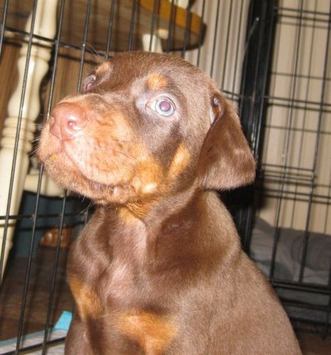 Doberman Pinscher Puppies for sale in Redding, CA, USA. price 1500USD