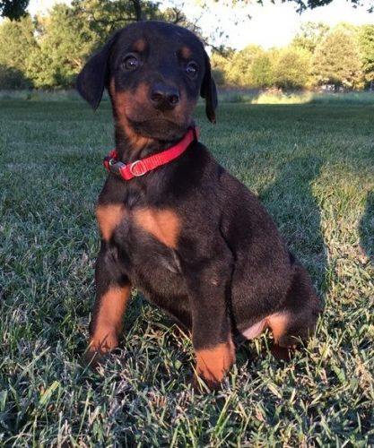 Doberman Pinscher Puppies for sale in Los Angeles, CA, USA. price 500USD