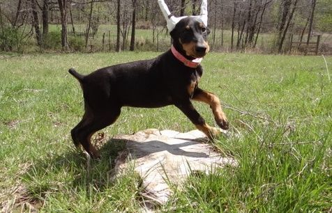 Doberman Pinscher Puppies for sale in Escondido, CA, USA. price 400USD