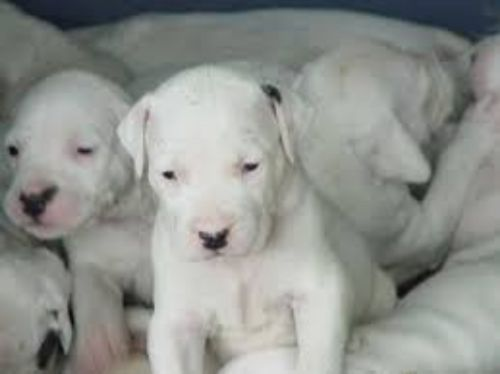 dogo guatemalteco puppies
