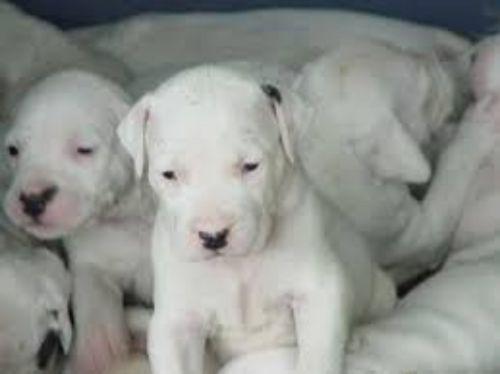 dogo guatemalteco puppies